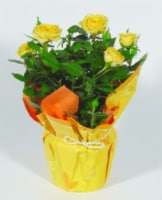 Mini Rose Flowering Plant