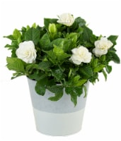 Seaside Tin Potted Gardenia (Approximate delivery is 2 - 7 days)