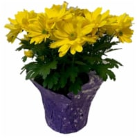 Mums Assorted Potted Plant - 6.5-inch pot