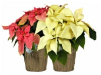 Assorted Poinsettia