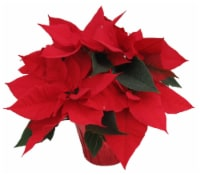 Red Oak Greenhouse Assorted Poinsettia