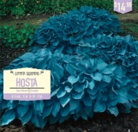 Garden State Bulb Hosta Bulbs - Blue