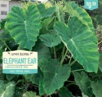 Garden State Bulb Elephant Ear Colocasia Esculenta Bulbs