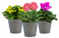Blooming Piper in Tin Potted Plant - Assorted