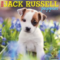 Just Jack Russell Puppies 2022 Wall Calendar (Dog Breeds) - 1
