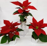 Mini Poinsettias with Ceramic Pots - 3 Pack (Approximate Delivery is 3-5 days)