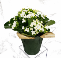 White Kalanchoe with Seasonal Pot Cover (Approximate Delivery is 2-6 Days)