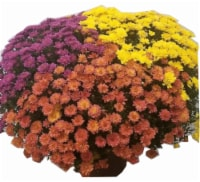 Outdoor Mums (Yellow Bronze Purple and Red) - 1 ct