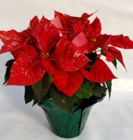 Jingle Bells Potted Poinsettia (Approximate Delivery is 3-5 days)