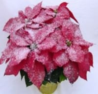 Snow Frosted Poinsettia with Holiday Pot Cover (Approximate Delivery is 3-5 days)