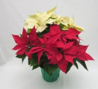 Bi-Color Poinsettia with Holiday Pot Cover (Approximate Delivery is 3-5 days)