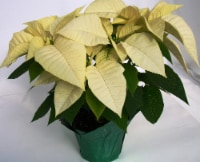 White Poinsettia with Holiday Pot Cover (Approximate Delivery is 3-5 days)