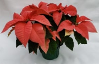 Pink Poinsettia with Holiday Pot Cover (Approximate Delivery is 3-5 days)