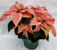 Marble Poinsettia with Holiday Pot Cover (Approximate Delivery is 3-5 days)