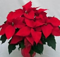 Red Poinsettia with Holiday Pot Cover (Approximate Delivery is 3-5 days)