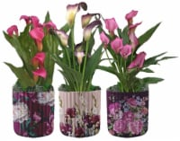 Lily Calla Botanical in Ceramic Pot - Assorted