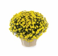 Andy Mast Greenhouses Yellow Mum with Basket (Approximate Delivery is 2-7 Days)