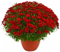 Outdoor Mums (Offered in Yellow - Purple - Red and White) - 8 in