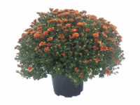 Outdoor Mums (Offered in Yellow - Purple - Red and White) - 10 in