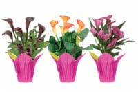 Potted Calla Lily - Assorted
