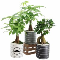 Father's Day Whirlwind Medium Bonsai - Assorted