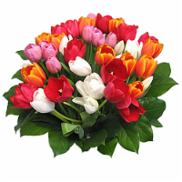 40-Stem Rainbow Tulips with Greens (Approximate Delivery is 1-3 Days)