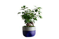 LiveTrends Azure Sky Potted Ficus Ginseng (Approximate Delivery is 2-5 Days)