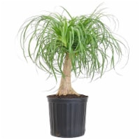 Elephants Foot Grower Pot (Approximate Delivery is 2-7 Days)