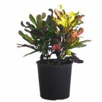 Croton Mammy Potted Plant (Approximate Delivery is 2-7 Days)