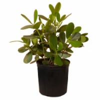Clusia Potted Plant (Approximate Delivery is 2-7 Days)