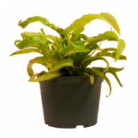 Hurricane Fern Potted Plant (Approximate Delivery is 2-7 Days)