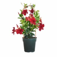 Red Mandevilla Hoop Flowering Plant (Approximate Delivery is 2-7 Days)