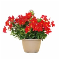 Mandevilla Hanging Basket Plant - Red (Approximate Delivery is 2-7 Days)