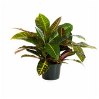 Croton Petra Potted Plant (Approximate Delivery is 2-7 Days)
