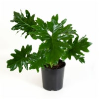 Philodendron Foliage