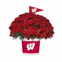 Sporticulture Wisconsin Badgers Team Color Potted Mum - 3 qt