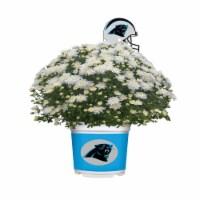 Sporticulture Carolina Panthers Team Color Potted Mum - 3 qt