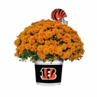 Sporticulture Cincinnati Bengals Team Color Potted Mum - 3 qt