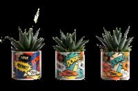 Comic Burst Potted Succulents - Assorted