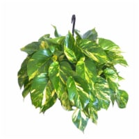 Potted Golden Pothos Ivy 1 Count (Approximate Delivery is 2-7 Days)