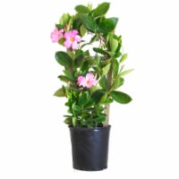 Mandevilla Trellis Giant Pink (Approximate Delivery is 2-7 Days)