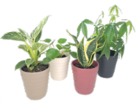 Exclusive Houseplant - 5 in