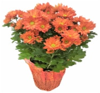 Premium Fall Mums - 6-inch pot