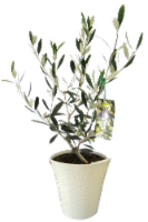 Olive Tree in Colorful Pot