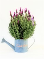 The Pinery Lavender Plant with Decorative Pot