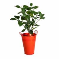 Orange Tree in Decorative Planter (1 ea)