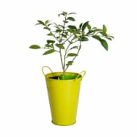 Lime Tree in Decorative Planter (1 ea)