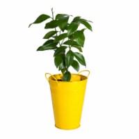 Lemon Tree in Decorative Planter (1 ea)