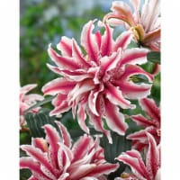 Award Winning Double Oriental Lily Magic Star Bulbs (3 pack)