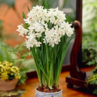 Paperwhites Ziva (7-Pack)
